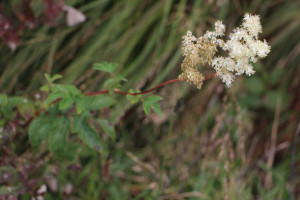 Filipendula sp. Photo by CoreyPine Shane of Blue Ridge School of Herbal Medicine